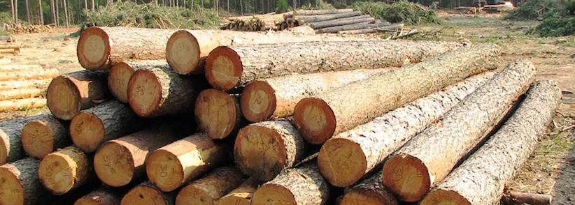 На Буковині працівника лісгоспу обвинувачують у скоєнні криміналу