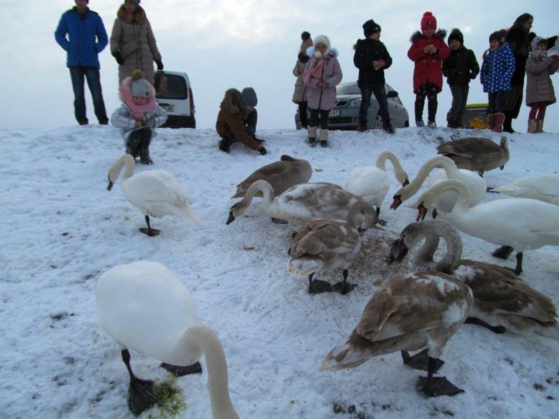 У Чорториї люди підгодовують лебедів, які зимують на місцевому ставку