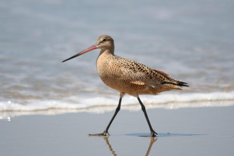 Світовий рекорд: птах без відпочинку пролетів понад 12 тисяч кілометрів