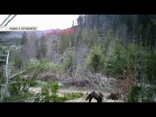 На Сторожинеччині в об'єктив фотопастки лісівників потрапило сімейство бурих медведів