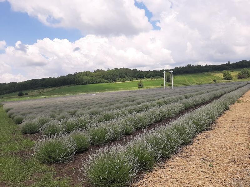 Висадили 13 тисяч саджанців: на Буковині для відвідувачів відкрили лавандове поле