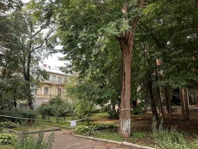 Закрили сквер: у центрі Чернівців занепокоєні деревом, що може впасти