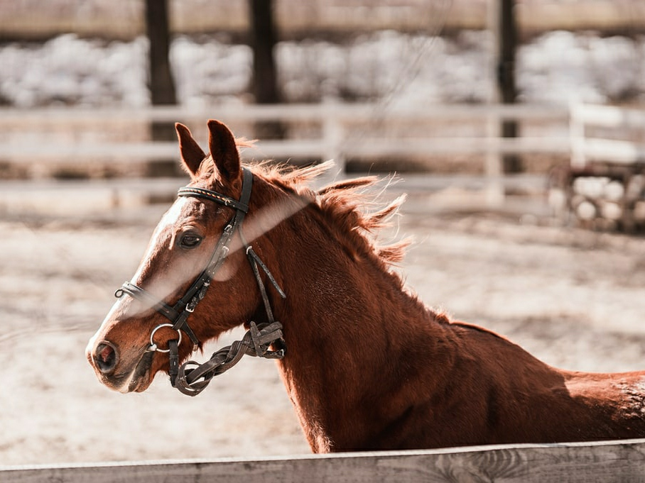 Фестиваль на Буковині: визначатимуть найсильніших та найспритніших коней
