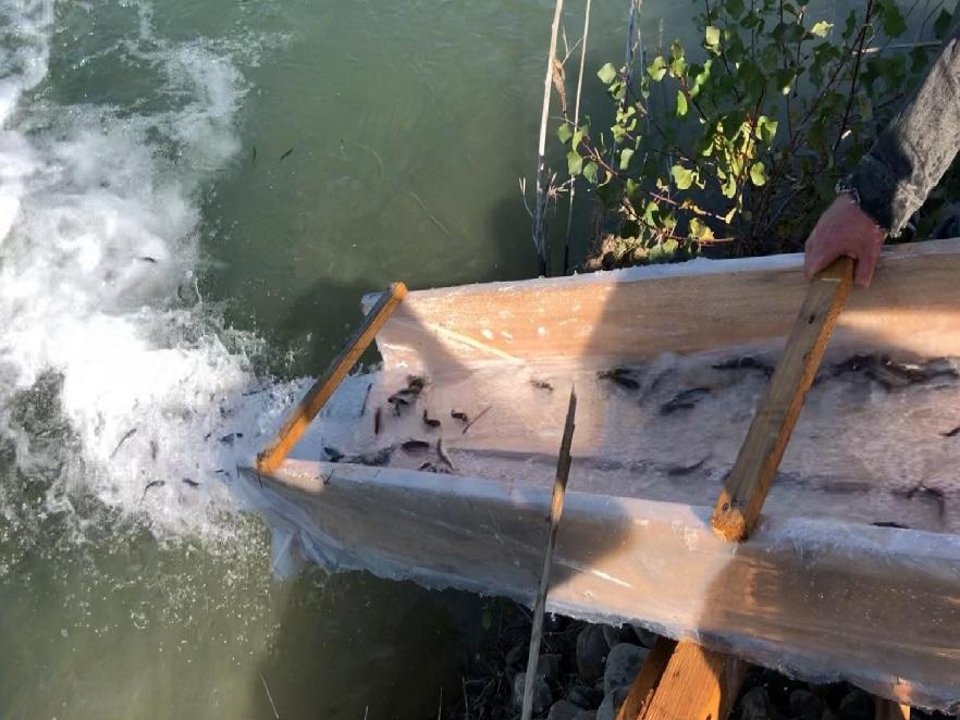 В Пруті оселили рідкісну форель: у водойму випустили майже 67 тисяч мальків