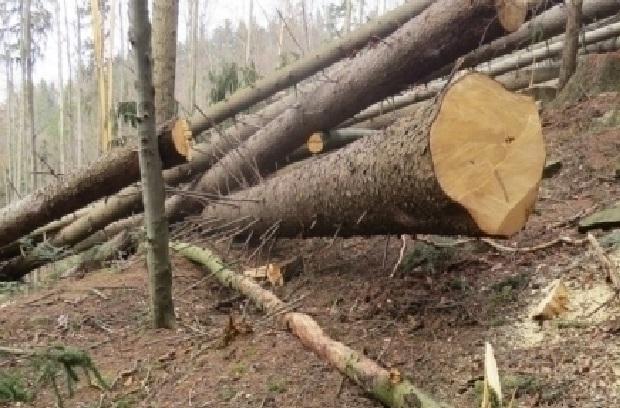 Незаконно вирубали 2 гектари дерев: Чернівецький лісгосп оштрафували на понад 3 мільйони гривень